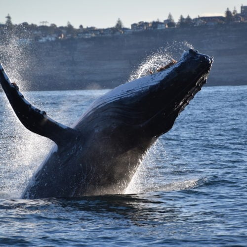 Ocean Extreme whale watching in Sydney